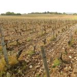 100% loss for this vineyard in Chavignol