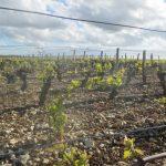 Unaffected vineyard in Sancerre