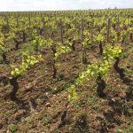 Undamaged vines in Puligny-Montrachet