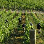 Burn Cottage: Excellence in Biodynamics & Pinot Noir 5
