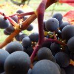 Fully ripe Cabernet Franc stems